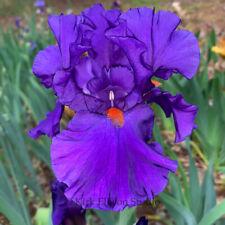"Tall Bearded Iris Rhizome ""Paul Black"" Last Auction!"