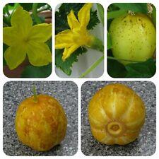 Zitronengurke Gurke Lemon Hingucker! gelbe runde Gurke knackig & lecker