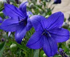 "DEEP-BLUE BALLOON FLOWER 18"" Platycodon Compact Hardy Perennial Baloon 30 Seeds"