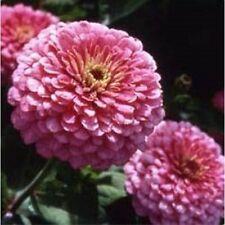 Zinnia Giant Dahlia Flowered Seeds  Luminosa Bright Pink Excellent Cut Flower