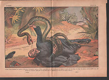 Boa constrictor ATTACK PRIEST ORDONEZ Sincelejo  ILLUSTRATION 1934
