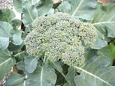 200+DE CICCO BROCCOLI Non-GMO Organic U.S.Seed Spring/Fall Garden/Containers