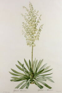 Pierre Joseph Redoute Yucca Filamentosa Giclee Paper Print Poster Reproduction