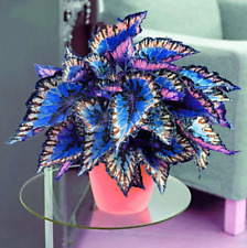100Pcs Coleus Flower Seeds Rare 4 Kinds Color Perennial Bonsai Dragon Plant Home