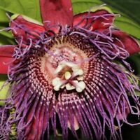 10 Seeds Passiflora Quadrangularis Rare Passion Fruit The Giant Granadilla Sweet