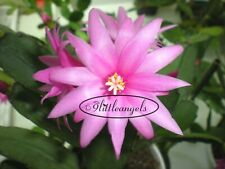 'Bright Rose' Pink Easter Christmas Cactus Spring Thanksgiving Zygo Hoya Plant
