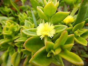 Succulent groundcover  Aptenia cordifolia YELLOW FLOWER 35 extra large cuttings