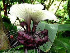 20 semillas blancas fledermausblume (Tacca nivea)