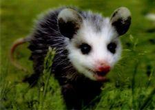 3 -D - Ansichtskarte: Opossum - Baby - USA