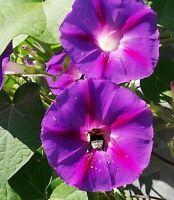 Garten Kletterpflanze die Trichterwinde mit großen Blüten Bienen lieben sie.
