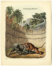Fight between tiger and antelope, Original antique hand colored engraving, 1861
