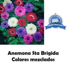1 Bulbo semilla de Anemona Sta Brigida colores mezclados bulbos semillas flores