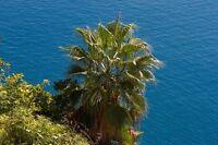 "** Washington-Palme ""Washingtonia filifera"" liebt einen sonnigen Platz - Samen."
