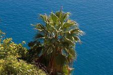 Glänzend weiche Blätter umschmeicheln den Stamm der Washington-Palme !