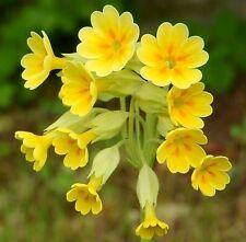 ☺100 graines de primevere jaune / coucou /primula veris