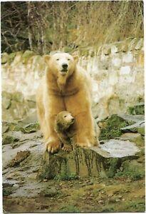 EDINBURGH ZOO - POLAR BEARS - POSTCARD VIEW