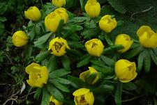 Winterlinge Eranthis hyemalis Pflanzen Topf Garten Kübel Terrasse Frühblüher