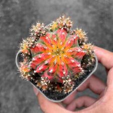 Gymnocalycium Cactaceae cactus Succulent plants Bonsai Decor grafted plants