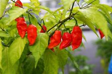 20 Red Bhut Jolokia Seeds Ghost Pepper Naga Jolokia HOT Chilli from INDIA