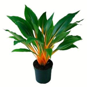 Chlorophytum amaniense (Fire Flash Spider House Plant) 5-25 Seeds RARE Indoor UK