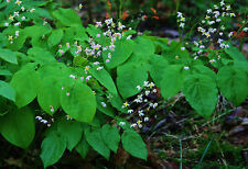 Epimedium pinnatum Elegans perennial plant ideal ground cover any aspect 9cm pot