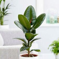 50PCS Ficus Elastica Robusta Seeds Bonsai Tree Indoor House Plant Fresh Air DIY