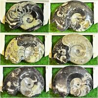 Goniatite Fossil Ammonite Polished Standing Orthoceras Devonian✔ [13 Pick From]
