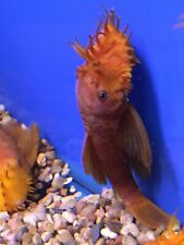 SUPER RED Bristlenose Pleco Young  ADULT MALE 4 inch Plecostomus LIVE!