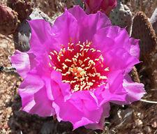 Opuntia Basiliaris-Cactus embrice - 5 Semi