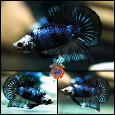 New listing Live Betta Fish Male Metallic Night Fury Monster Dragon Halfmoon Plakat #E637