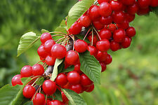 'Sunburst' Cherry Tree 4-5ft in 5L Pot, Self-Fertile With Big Dark Cherries