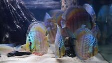 Blue Moon Heckle Discus Fish