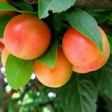 Delicious Sweet & Tangy*Cherry (Wild) PLUM Tree*5-Finest Seeds/Hardy Variety.UK