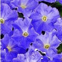 Petunia - Mirage Light Blue - 50 Seeds