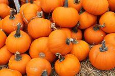 Pumpkin WEE-BE-LITTLE-Pumpkin Seeds-HUGE PRODUCER-20 SEEDS.