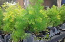 Fern- Asparagus Myriocladus ~Ming Fern~ 4 inch pot