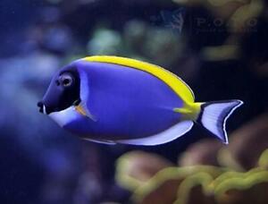 Powder Blue Tang Fish #FREE SHIPPING# small medium