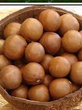Macadamia Maui Fresh Macadamia Nut 12 Seeds Beautiful Tree And Taste Great.