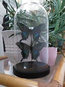 Real Butterflies in Glass Dome Larger Dome Display Gifts Handmade