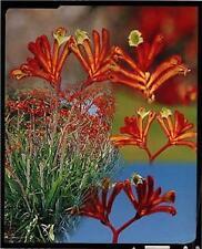Red Kangaroo Paw (Anigozanthos Rufus) 30 Fresh Seeds
