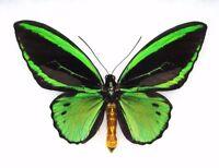 ONE REAL ORNITHOPTERA PRIAMUS POSEIDON MALE GREEN BLACK BIRDWING WINGS CLOSED
