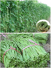 Green Bean Seeds 1 METER LONG (Climbing) Spanish Judia de Metro