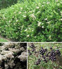 Jetzt pflanzen Liguster Ligustrum ovalifolium immergrün winterhart blühend Hecke