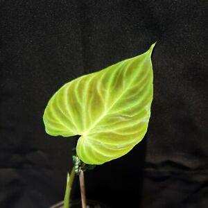 Philodendron Verrucosum Rare  Aroid Indoor/houseplant