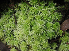LIVE SPHAGNUM  REPTILE AMPHIBIAN ORCHIDS will turn green 5 litre