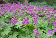 "FIVE 8- 10"" BEVANS GERANIUM ROOTED PERENNIAL GROUND COVER PERFECT FOR CONTAINERS"