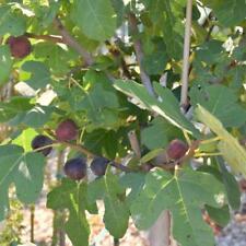 Fig Tree Plant - 1 Gallon