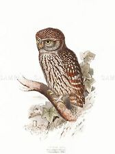 PITTURA UCCELLI Gould LEAR little owl art print poster lah547a