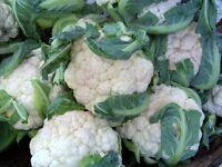 cauliflower, EARLY SNOWBALL, 112 seeds! GroCo buy US USA