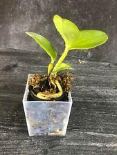 New listing * Cattleya leopoldii 'San Bar Giant' - Orchid Plant